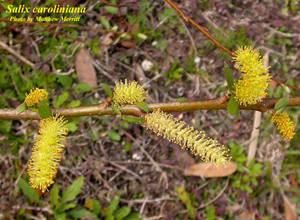 Salix caroliniana