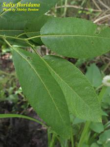 Salix floridana