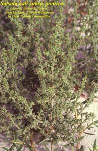 Salsola kali subsp. pontica