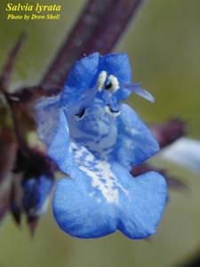 Salvia lyrata