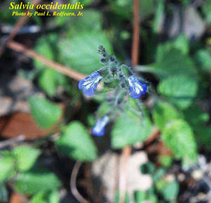 Salvia occidentalis