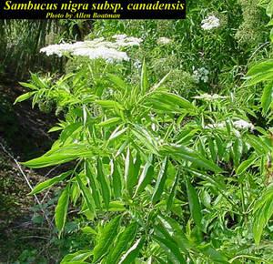 Sambucus nigra subsp. canadensis