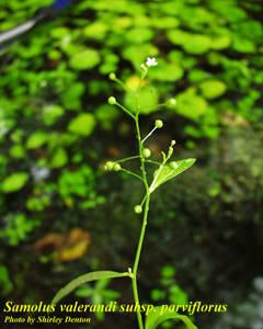 Samolus valerandi subsp. parviflorus