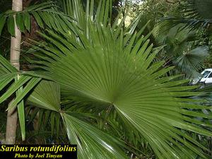 Saribus rotundifolius