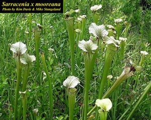 Sarracenia x mooreana