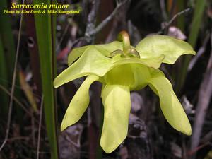 Sarracenia minor