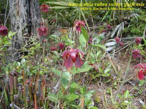 Sarracenia rubra subsp. gulfensis