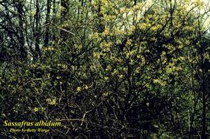 Sassafras albidum
