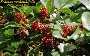 Schinus terebinthifolia