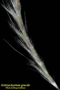 Schizachyrium gracile