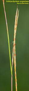 Schizachyrium stoloniferum