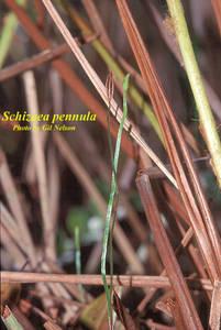 Schizaea pennula