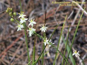 Schoenolirion albiflorum
