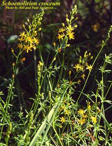 Schoenolirion croceum
