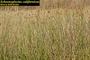 Schoenoplectus californicus