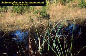 Schoenoplectus tabernaemontani