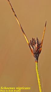 Schoenus nigricans