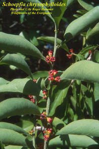 Schoepfia chrysophylloides