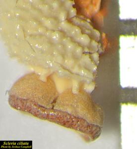 Scleria ciliata