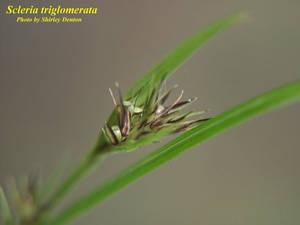 Scleria triglomerata