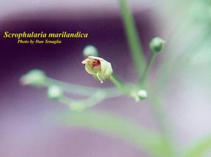 Scrophularia marilandica
