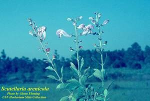 Scutellaria arenicola