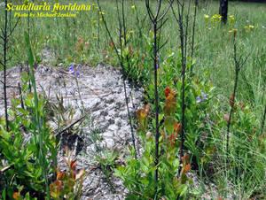 Scutellaria floridana