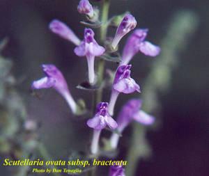 Scutellaria ovata subsp. bracteata