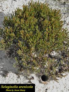 Selaginella arenicola