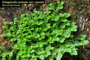 Selaginella armata var. eatonii