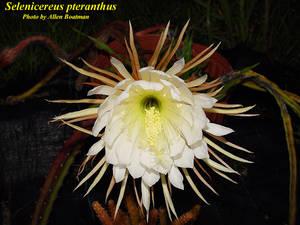 Selenicereus pteranthus