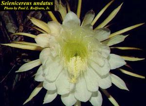 Selenicereus undatus