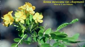 Senna mexicana var. chapmanii
