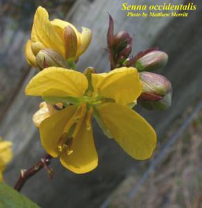Senna occidentalis