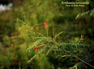 Sesbania vesicaria