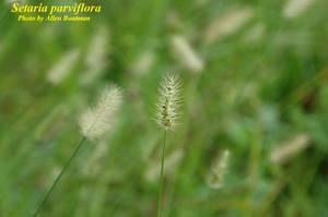 Setaria parviflora