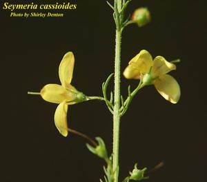 Seymeria cassioides