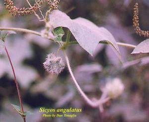 Sicyos angulatus