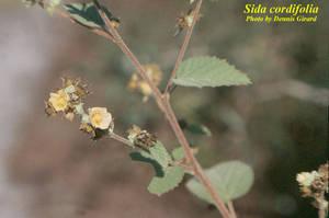 Sida cordifolia