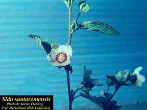Sida santaremensis
