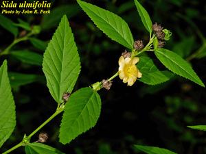 Sida ulmifolia