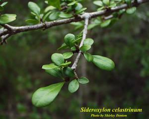 Sideroxylon celastrinum