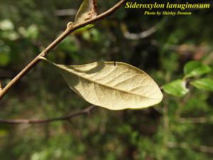 Sideroxylon lanuginosum
