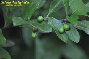 Sideroxylon lycioides