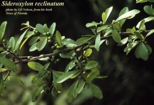 Sideroxylon reclinatum