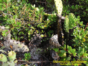 Sideroxylon rufohirtum