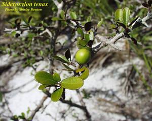 Sideroxylon tenax