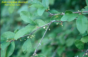 Sideroxylon thornei