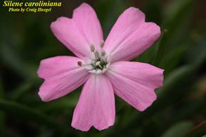 Silene caroliniana