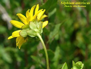 Silphium asteriscus
